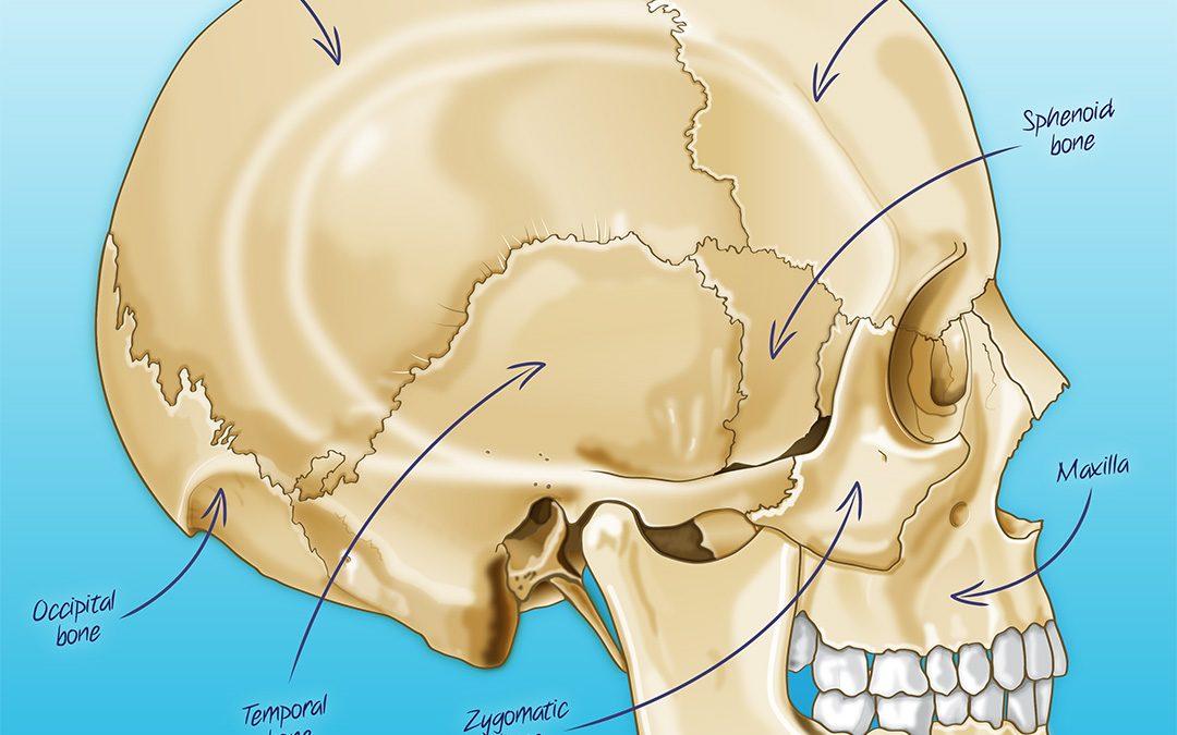 Human Skull Illustration
