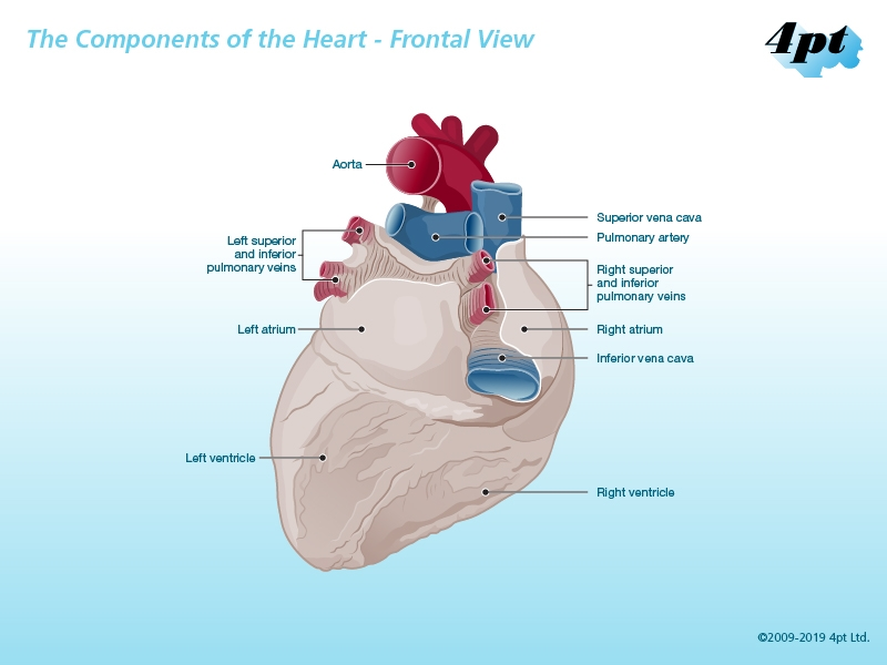 Frontal View of Human Heart