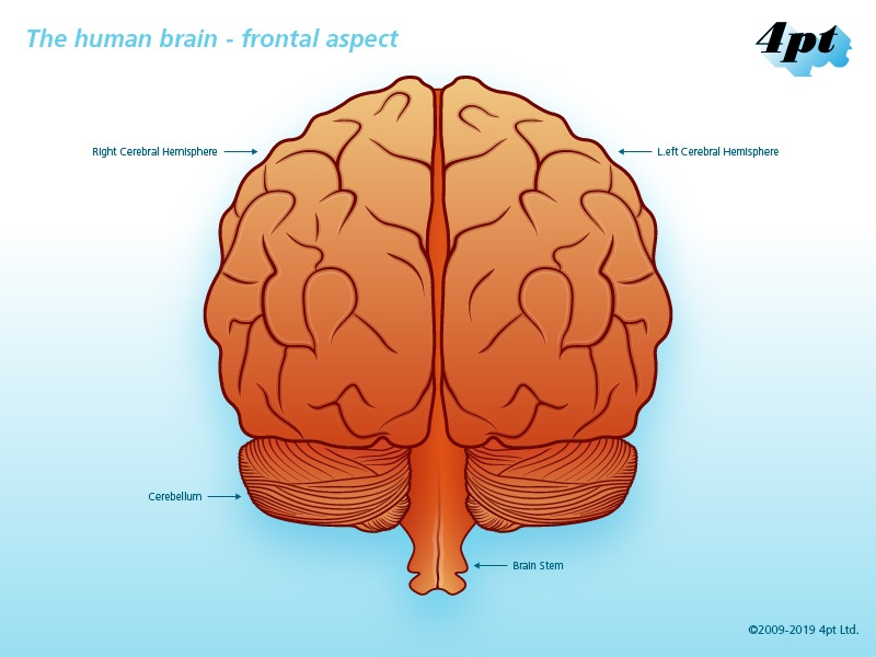 Stylised illustration of human brain