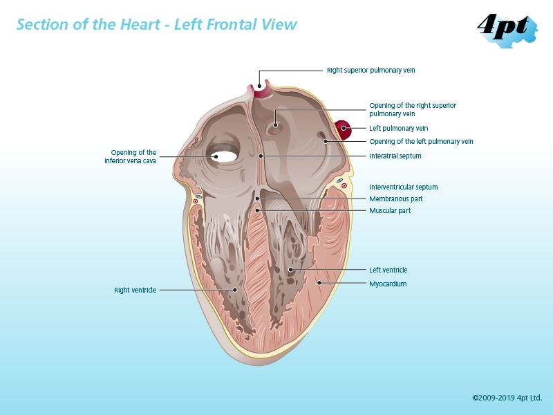 Illustration of left frontal aspect of the human heart