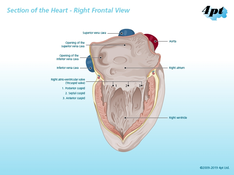 Right Frontal Human Heart Illustration