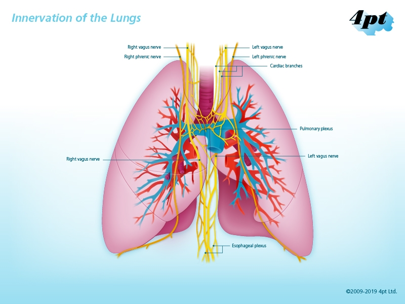 Innervation of the Lungs Illustration