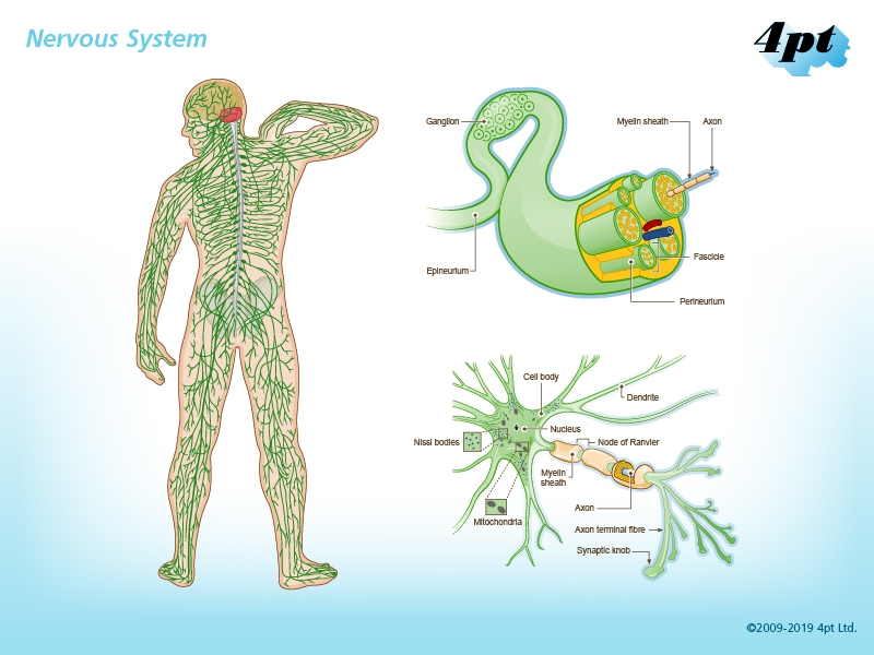 Illustration of human nervous system