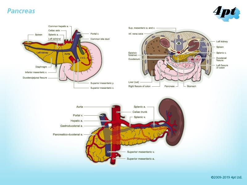 Pancreas Illustration